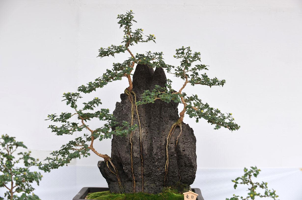 太宰府天満宮の菊盆栽 壁紙写真_f0172619_957131.jpg