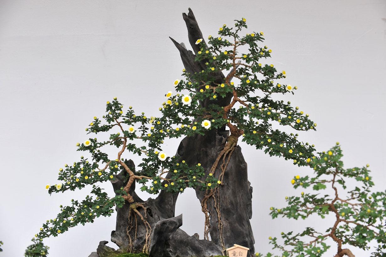 太宰府天満宮の菊盆栽 壁紙写真_f0172619_9575067.jpg