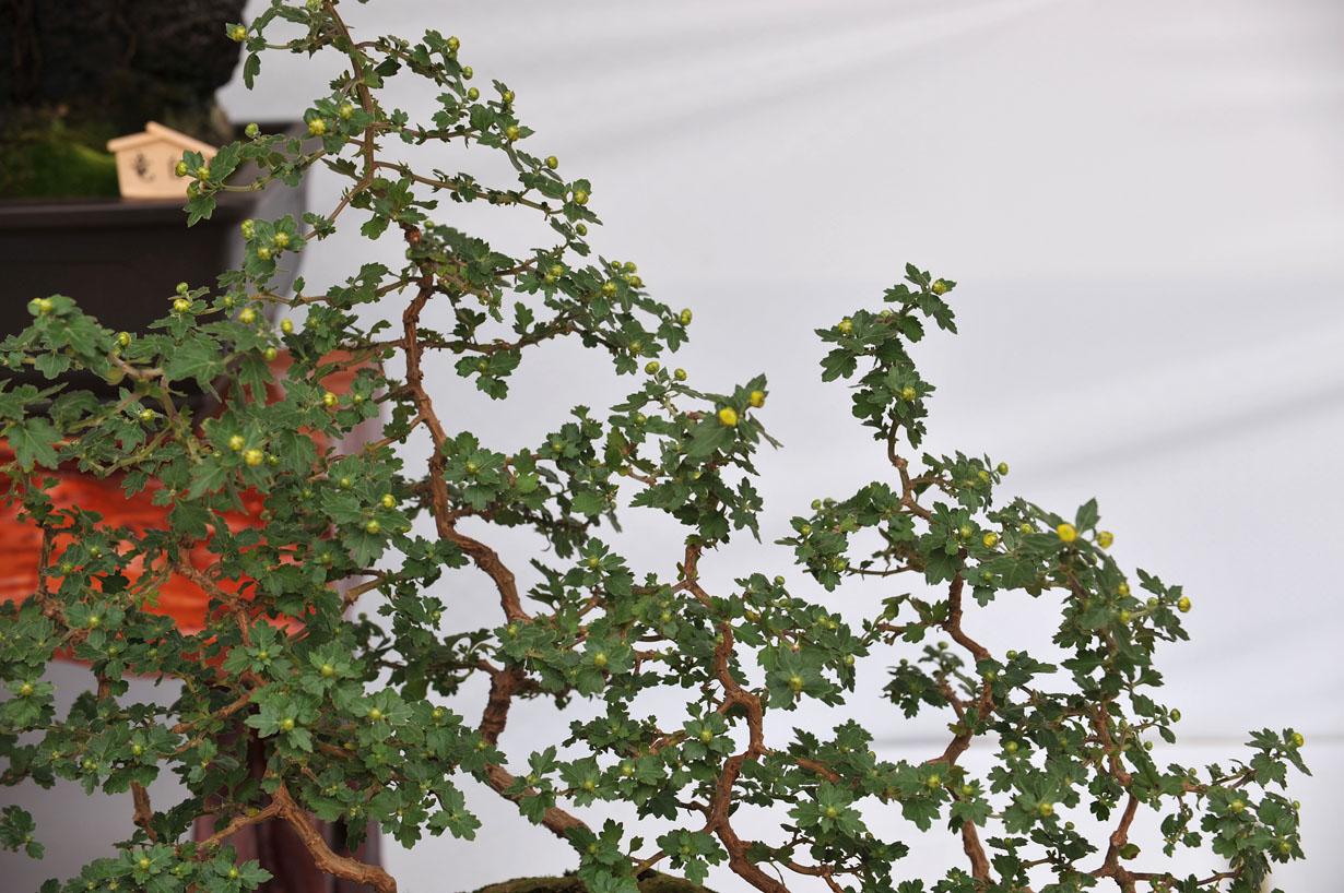 太宰府天満宮の菊盆栽 壁紙写真_f0172619_9591997.jpg