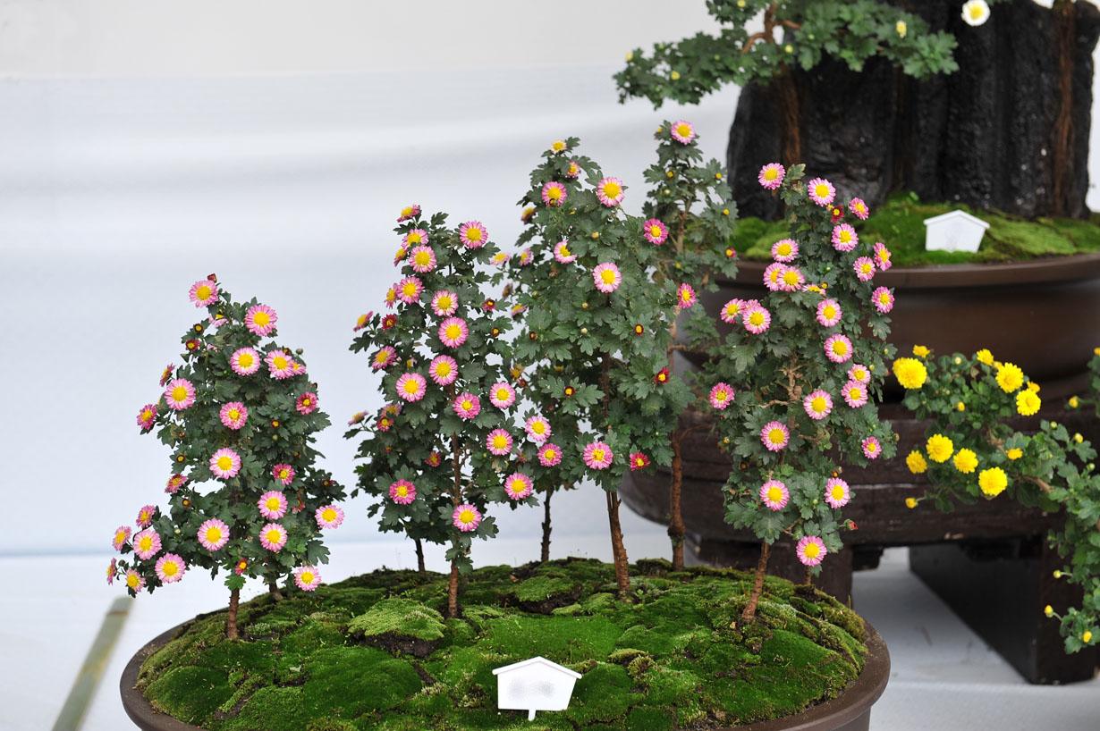 太宰府天満宮の菊盆栽 壁紙写真_f0172619_959270.jpg