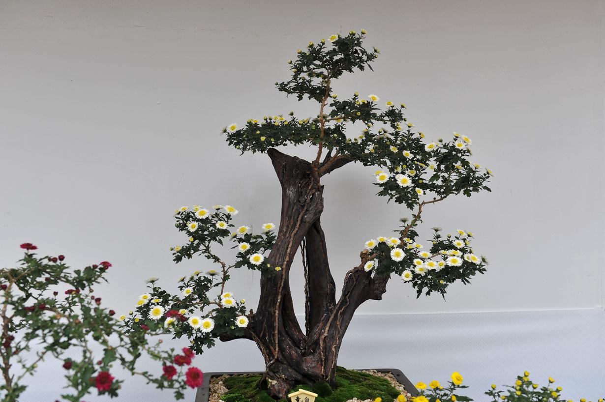 太宰府天満宮の菊盆栽 壁紙写真_f0172619_9595918.jpg