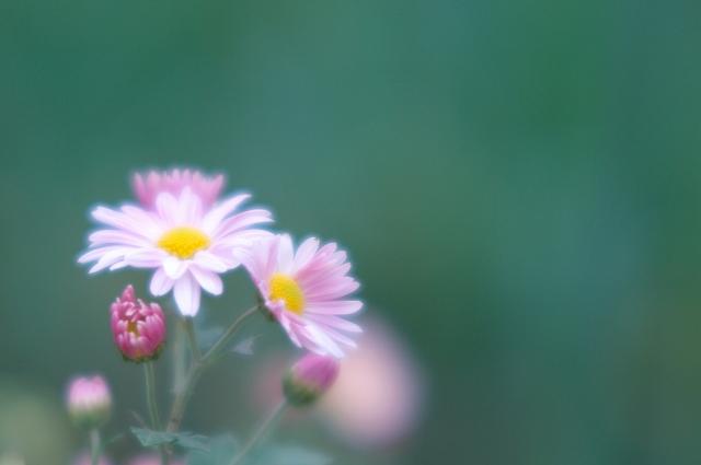 スプレー菊_f0018464_75351.jpg