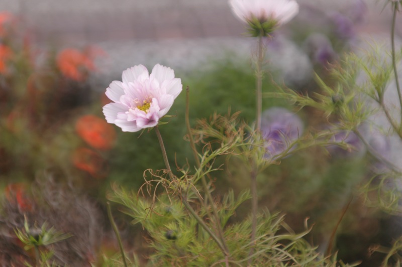 函館、路傍の花々_f0042194_22172111.jpg