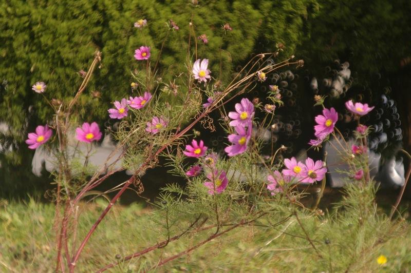 函館、路傍の花々_f0042194_23554166.jpg