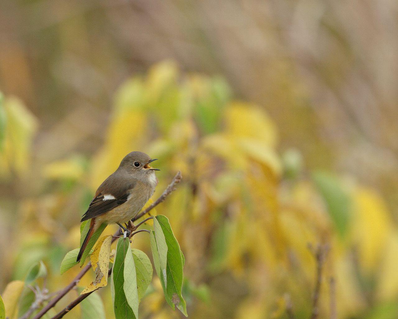 ジョウビタキ雌ちゃんの縄張り宣言(秋らしい背景に可愛い野鳥の壁紙)_f0105570_2224167.jpg