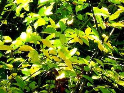 """""""ちいさな庭の小さな自然""""、黄金色に輝く黒文字の紅葉_e0010418_9351423.jpg"""