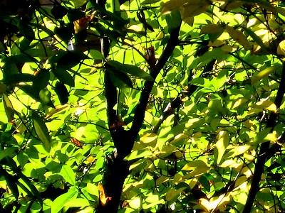 """""""ちいさな庭の小さな自然""""、黄金色に輝く黒文字の紅葉_e0010418_935299.jpg"""