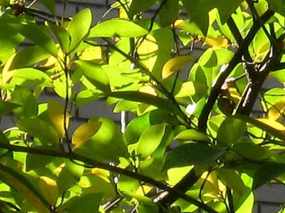 """""""ちいさな庭の小さな自然""""、黄金色に輝く黒文字の紅葉_e0010418_935765.jpg"""