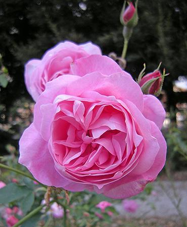 11月21日 敷島公園バラ園 晩秋のバラ_a0001354_212794.jpg