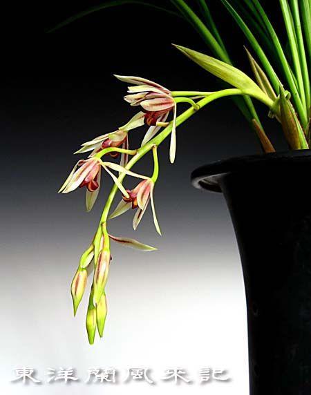寒鳳蘭の花                      No.429_d0103457_131891.jpg