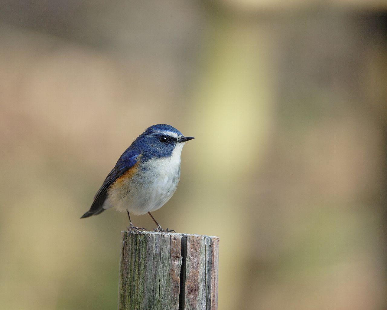 幸福の青い鳥(日本で一番美しい?可愛い野鳥の壁紙)_f0105570_2231999.jpg