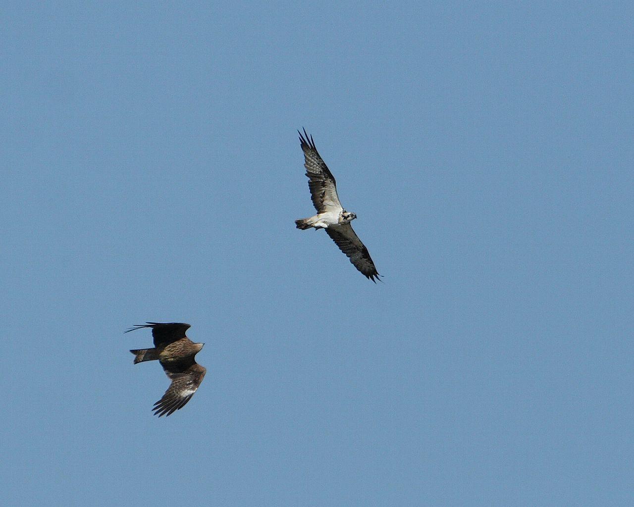 ミサゴの獲物を横取りしようとするトビ(青空バックに猛禽2羽の壮絶な戦いの壁紙)_f0105570_220085.jpg