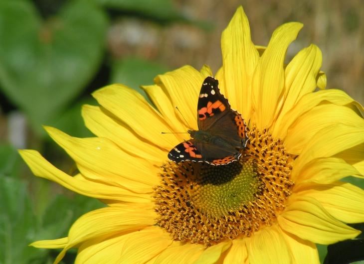 向日葵と蝶たち_c0065260_17395897.jpg
