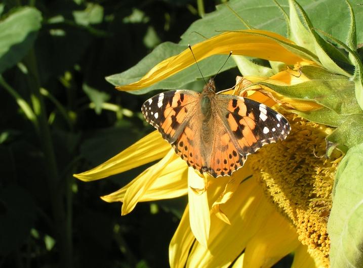 向日葵と蝶たち_c0065260_1740966.jpg