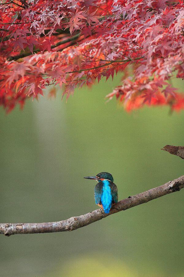 紅葉とカワセミ(秋の季節感いっぱいの美しい野鳥の壁紙)_f0105570_2292713.jpg