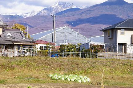 白菜の季節。_f0163491_1950749.jpg