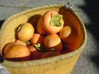 富有柿の収穫の始まりだ〜。_f0018099_20295620.jpg