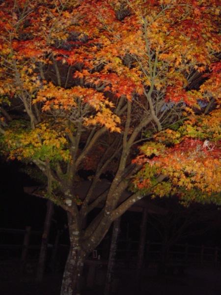 秋の菊池渓谷5鮮やかな紅葉_c0052304_1234519.jpg