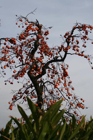 柿とツタの葉を見て、冬を迎える_d0150720_13333159.jpg