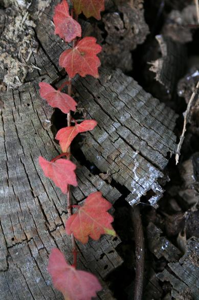 柿とツタの葉を見て、冬を迎える_d0150720_13345875.jpg