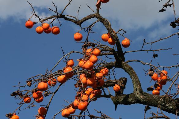柿とツタの葉を見て、冬を迎える_d0150720_1334954.jpg