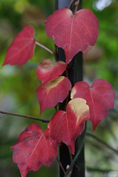 柿とツタの葉を見て、冬を迎える_d0150720_13352228.jpg