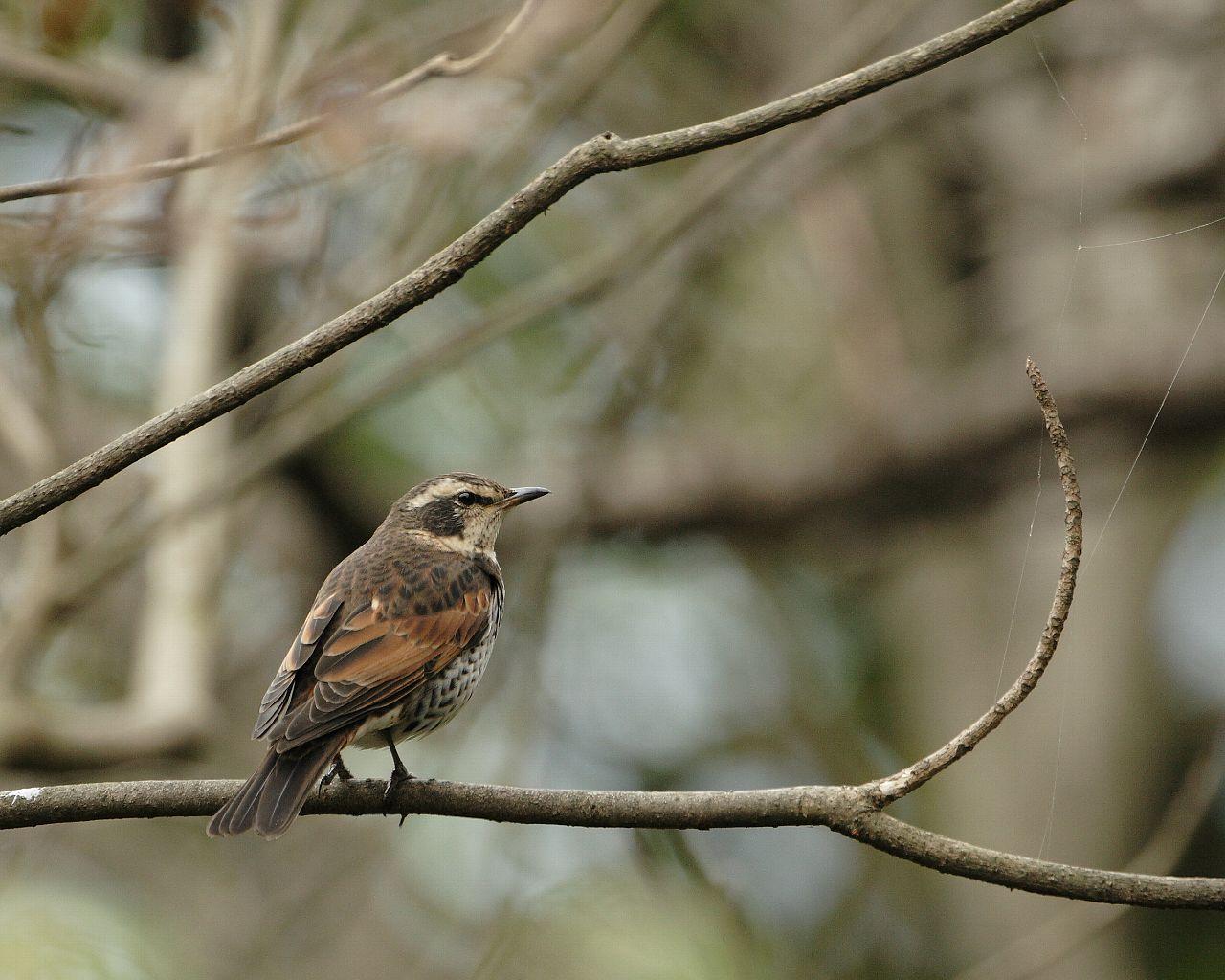 初物ツグミ(冬景色と野鳥の壁紙)_f0105570_22284277.jpg