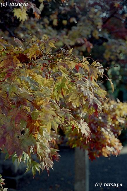 Nov.  29  (Sat)   紅葉 4_f0139991_1528087.jpg