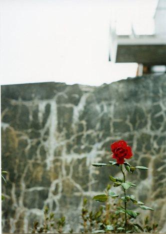 雨上がりの薔薇_e0059605_1221446.jpg
