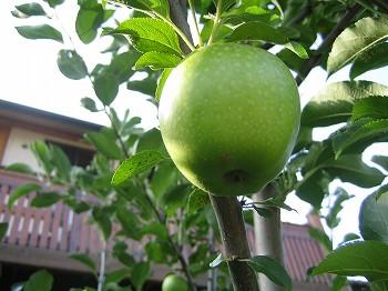 姫リンゴ 穫ったどー _c0038619_16221235.jpg