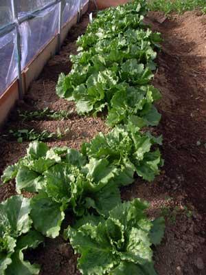 ハウス栽培の野菜_c0063348_17133713.jpg