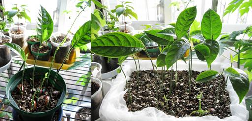 ジャックフルーツの発芽、Jackfruit germination