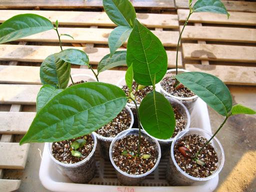 ジャックフルーツの苗、Potted jackfruit seedlings