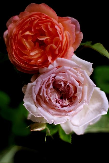 Rose is a rose is a rose……。_e0044929_2214699.jpg