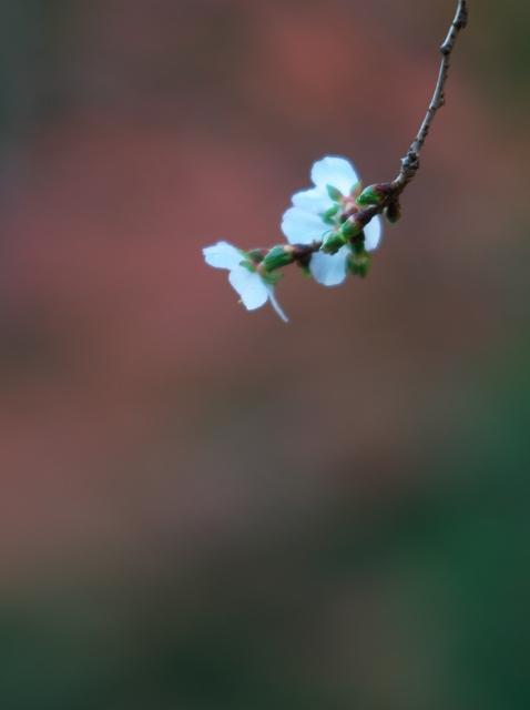 冬桜_f0018464_18202862.jpg