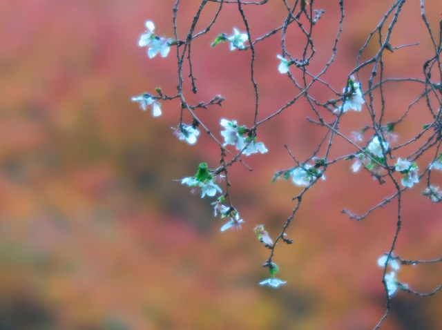 冬桜_f0018464_1821479.jpg