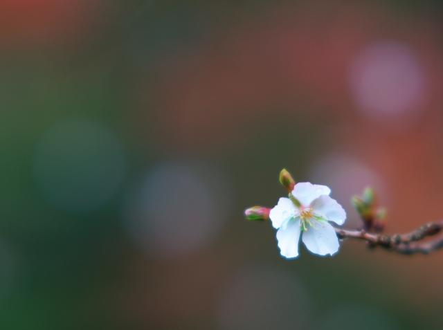 冬桜_f0018464_1914230.jpg
