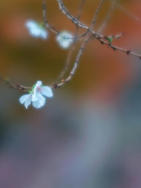 冬桜_f0018464_1935129.jpg