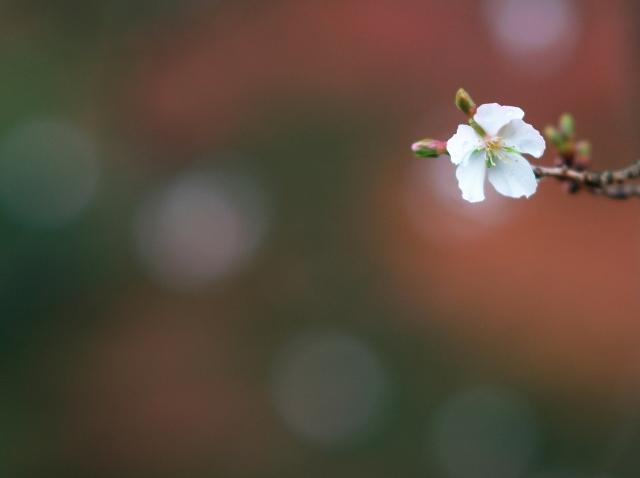 冬桜_f0018464_1995670.jpg