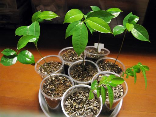 トゲバンレイシの苗, soursop seedlings