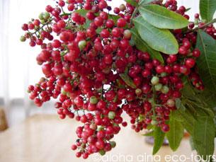クリスマスベリー : アロハアイナ通信