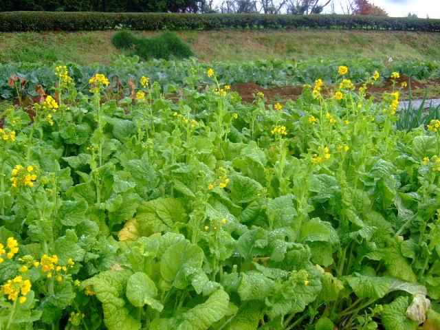 野菜畑に春がきた????_b0137932_22264354.jpg