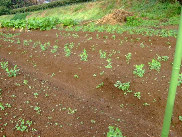 野菜畑に春がきた????_b0137932_2227853.jpg