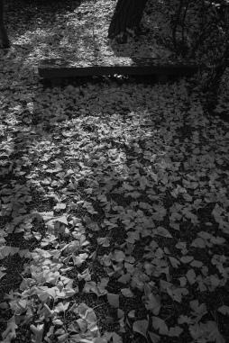 銀杏の絨毯_e0015690_16272799.jpg