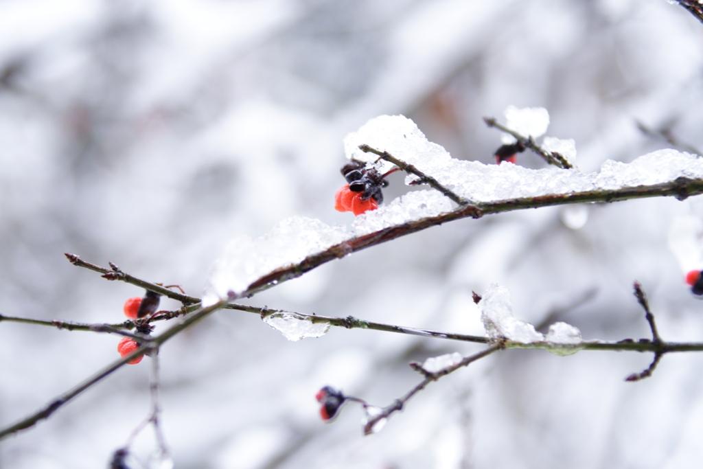 ニシキギと雪(煌きの中に)_f0091207_034338.jpg