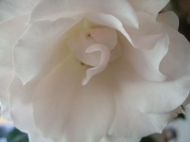 オークリーフ(ピンク色のウィンターチェリー)_f0049672_14115620.jpg
