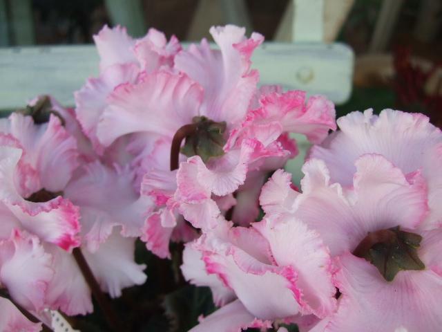 オークリーフ(ピンク色のウィンターチェリー)_f0049672_1443441.jpg
