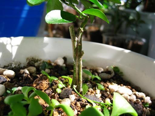 寄せ接ぎしたブラッドオレンジ, an approach-grafted blood orange seedling