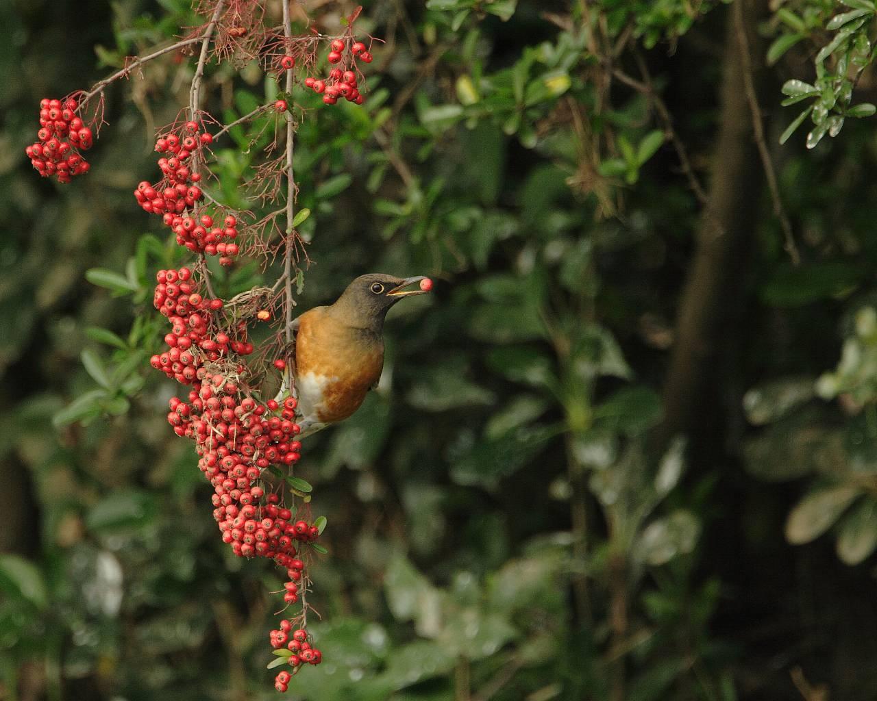 赤い実を咥えるアカハラ(美しい野鳥の壁紙)_f0105570_1651349.jpg