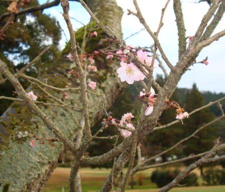 寒桜_b0017215_174873.jpg